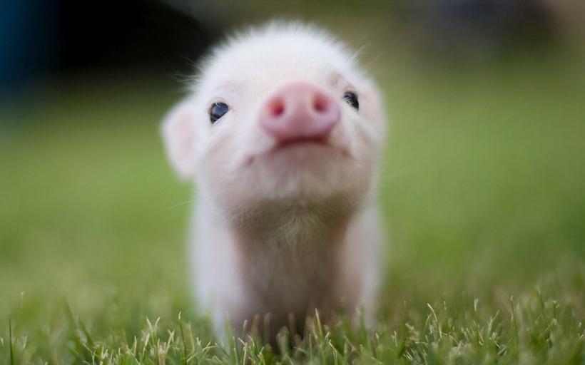 pigsimage